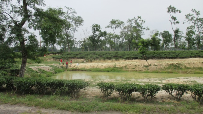 Rainfall has traditionally been plentiful for growing tea, but with recent  changes in the climate, surface and ground water are becoming more important for potential irrigation systems