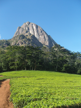 Figure 1 – A view of Mulanje tea, tropical forest and Mt Mulanje.