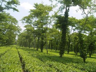 Figure 2 – Assam tea and shade trees. The vines on the shade trees produce black pepper corns.
