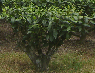 Figure 3 – An individual tea bush. The top bright green leaves, normally two and a bud, are plucked to produce tea.