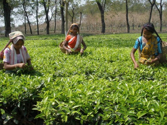 Tea harvesting is undertaken every 7-10 days in plantations; tea pluckers are generally female