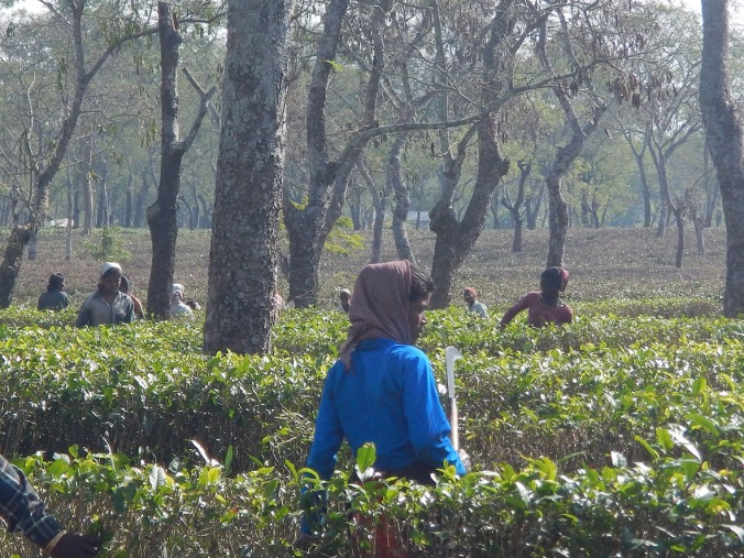 Tea plantation workers in Assam.