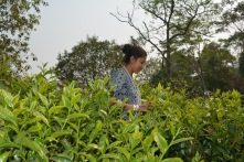 Dr Ahmed harvesting tea leaves