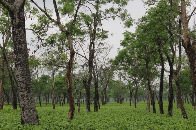 The vast expanse of tea in one of the plantations we visited