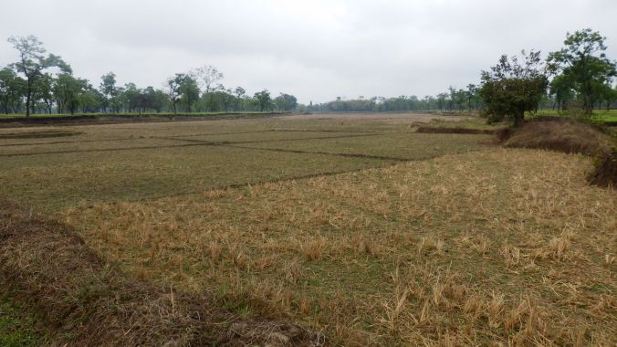 Paddy field inter-cropping